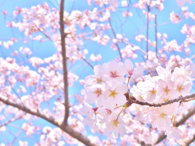 春 桜 ゆらぎ肌