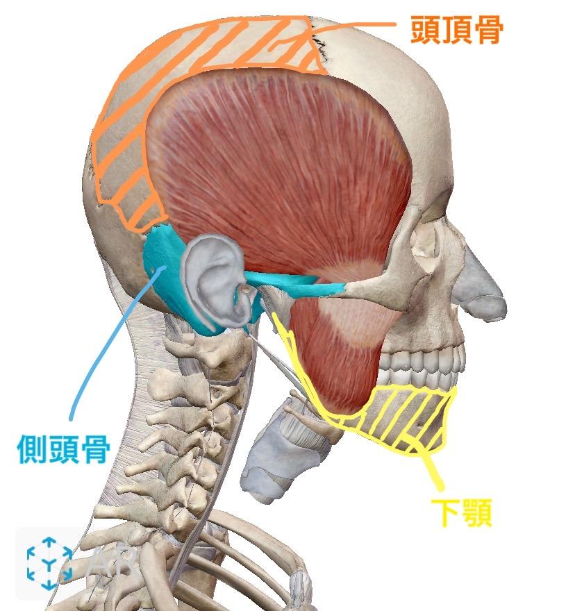 側頭骨、頭頂骨、下顎